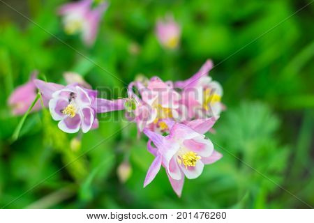 Pink aquilegia with white and yellow core