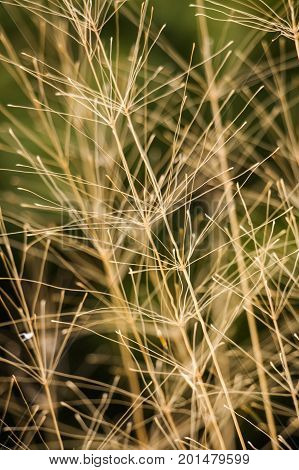 Closeup of fine dried yellow grass stems lit by the sun; background see-through them
