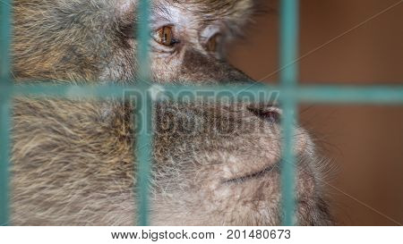 Monkey in a cage behind bars. Emotion of sadness despair depression. An animal in captivity. Sad look.