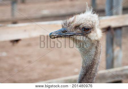 A close-up of an ostrich. The largest flightless bird.