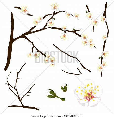 Prunus mume - White Chinese plum, Japanese apricot flower, Plum Blossom. Vector Illustration. isolated on white Background.