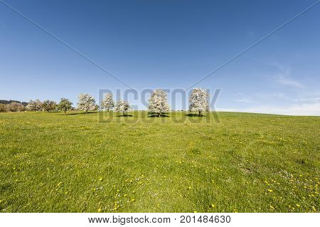Cows grazing on fresh green mountain pastures. Animal husbandry in Switzerland fields meadow and flowering trees