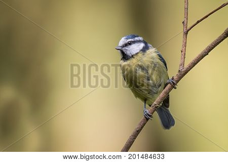 close up portrait of a juvenile blue tit perched on a thin branch and looking to the left complete with copy space for text