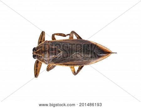 Lethocerus indicus isolated on white background .