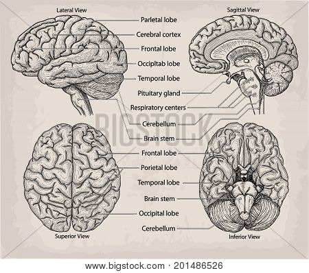 Anatomical Brain organ. Medicine Vector illustration poster. Anatomical high detailed Medical study info graphics banner for education. Lateral Superior Sagittal Inferior view with named lobe parts
