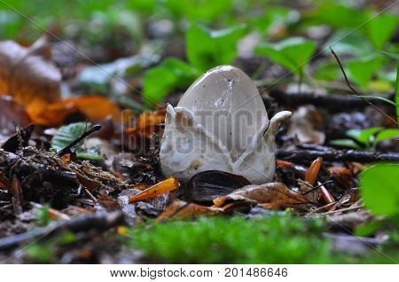 Amanita vaginata, the grisette in the forest, Gray slim amanita mushroom