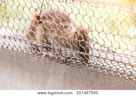 Rat in a cage trap address-forsaken freedom with sun light.