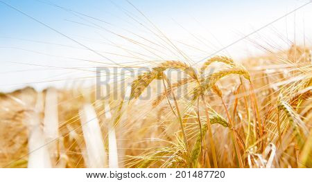 Picture of yellow wheat field, blue sky in summer afternoon