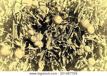 Tomatoes in Vegetable Garden on a Personal Plot in the French Village Stylized Photo