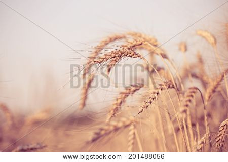 Picture of wheat spikelets, blue sky on blurred background. Toned image