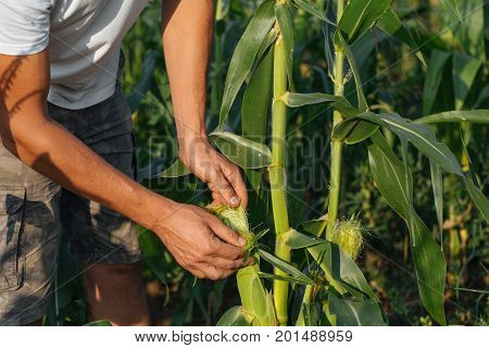 Farmer inspecting corn crop at field of organic eco farm. Close-up male hands check yield of corn.