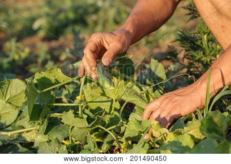 Close-up of male farmer checking and picking ripe organic cucumbers at field of eco farm.