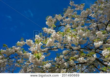 Colourful Cherry Blossom Flowers With Beautiful Background On A Bright Summer Day
