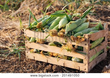 Close up fresh nature corn in wood box on the field of organic eco farm. Organic sweetcorn crop at harvesting time.