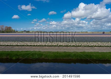 Colourful Tulip Field With Beautiful Background On A Bright Summer Day