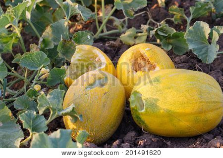 Ripe yellow melons are eaten by pests animals. Melons were bitten by birds on the field at organic eco farm.