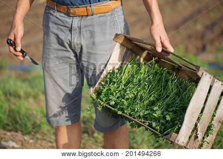 Closeup young farmer standing on the field and holding wood box with fresh harvest of parsley plant at organic eco farm. Cropped image with box and part of farmer's body, unrecognizible.