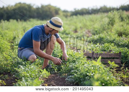 Young farmer in hat harvesting fresh crop of parsley by knife and putting it in wood box at field of organic eco farm. Real working process of farmer's routine