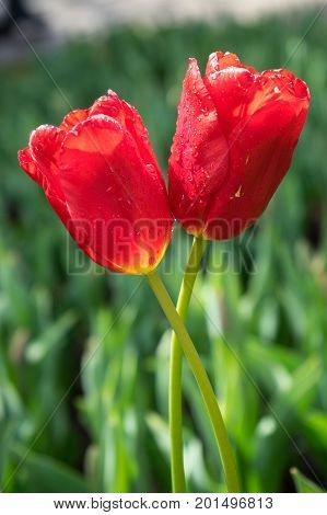Colourful Red Tulip Flowers With Beautiful Background On A Bright Summer Day, Tulip Couple