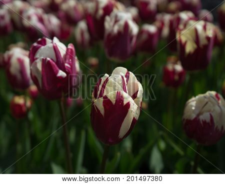 Colourful Purple Tulip Flowers With Beautiful Background On A Bright Summer Day