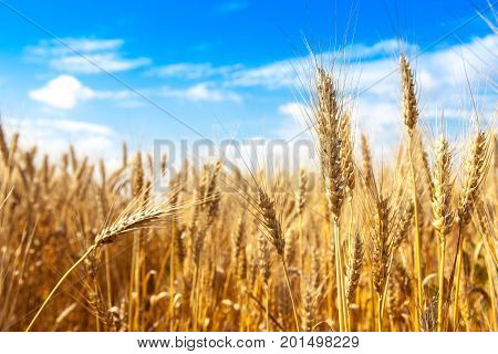 gold ripe wheat blue sky background. winter wheat field in sunlight closeup, shallow depth of field. Agriculture, agronomy and farming background. Harvest concept.