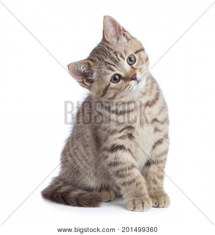 Sitting young cat full length looking with great attention isolated on white