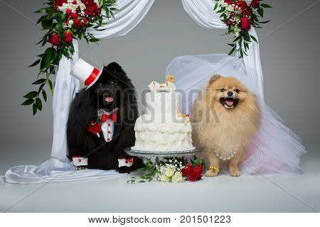 Beautiful spitz wedding couple eating dog cake under flower arch on gray background. dog bride in skirt and veil. groom in suit and silk hat. happy newlyweds. copy space.