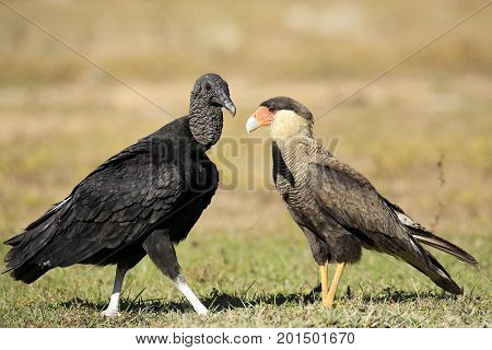 Black Vulture (Coragyps atratus) and Southern Caracara (Caracara plancus) Face to Face on the Ground. Rio Claro Pantanal Brazil