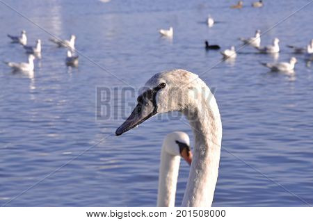 Swan with black beak swimming in the lake