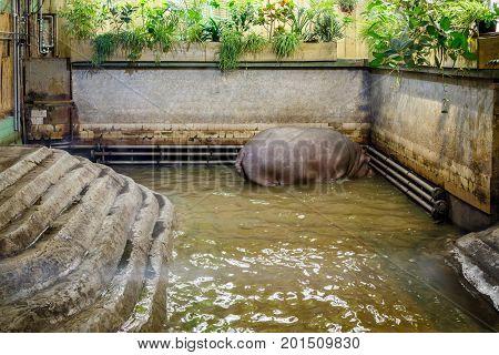 The Common Hippopotamus (hippopotamus Amphibius) Or Hippo