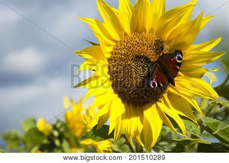 Beautiful sunflower with a butterfly on a sunflower field