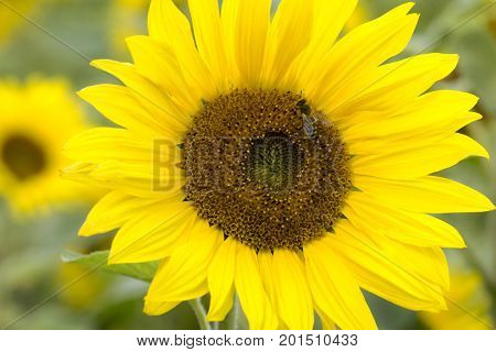 Beautiful sunflower with a bee on a sunflower field