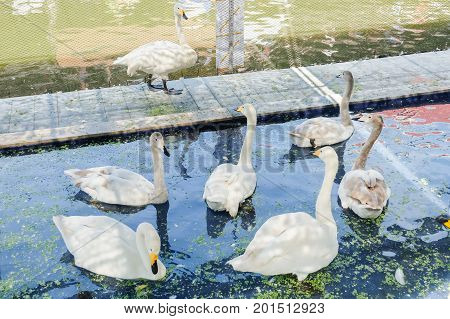White gooses floating in the pond water at Kwan-Riam floating market - Bangkok Thailand for animal background or texture.
