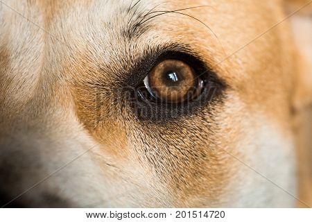 Close-up of a dog ca de bou eye, looking away. Daylight