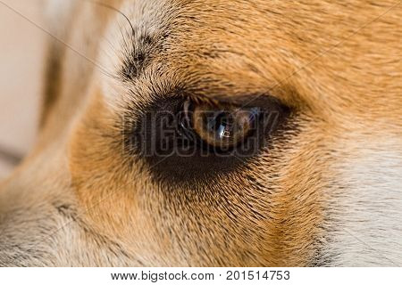 Close-up of a dog ca de bou eye, looking down. Daylight