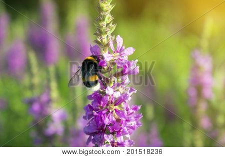 Larger bumblebee on blossoming flowers close up