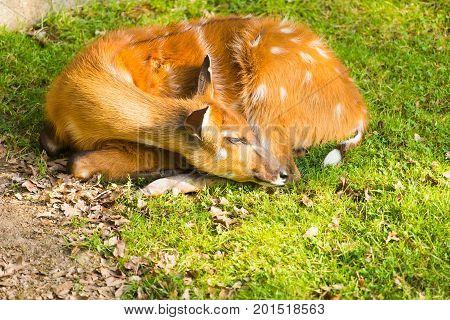 Portrait of lying Roe deer. Roe deer in forest