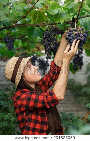 young woman gardener with secateurs picking grape. Girl farmer. Harvesting of grape. Gardening, agriculture, viticulture, harvest concept