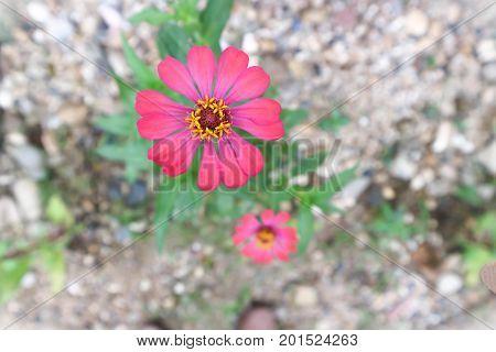 zinnia or zinnia elegans flower , red flower