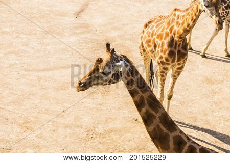 giraffe portrait in nature. Group of giraffes walks in summer nature