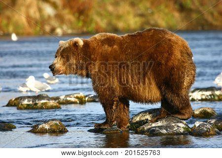 Kodiak brown bear fishing in Karluk River