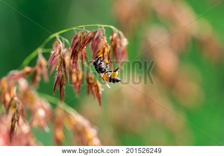 Macro shot of black yellow bee sucking sweet nectar from ( melinis repens ) pink flowers