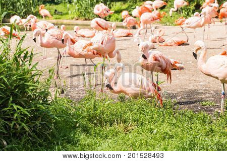 Group of flamingo's , Flamingo resting in the grass