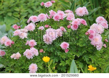 Pink chrysanthemums. Pink autumn garden flowers on flowerbed