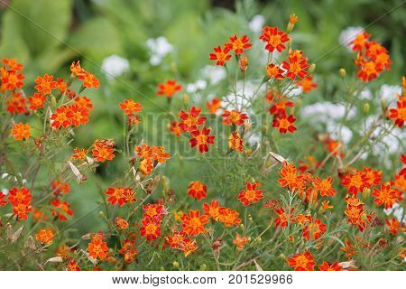 Orange signet marigold flowers (Tagetes tenuifolia) on flowerbed