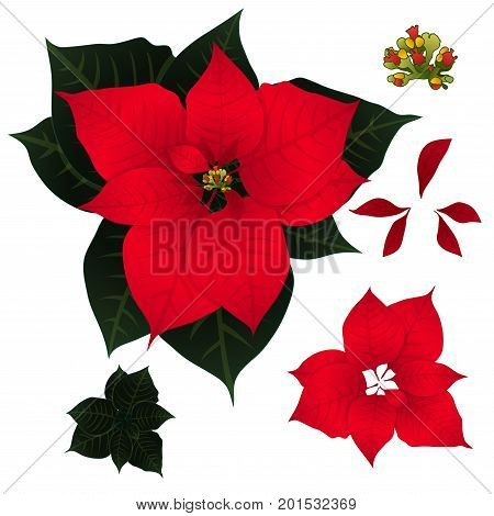 Red Poinsettia isolated on White Background. Vector Illustration.