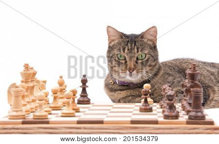 Brown tabby cat looking across a chessboard, on white