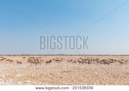 Herds of Burchells Zebras Hartmann Mountain Zebras and oryx at the Renostervlei waterhole in North-Western Namibia.