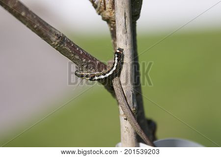 Caterpillar crawling on branch of tree in UK