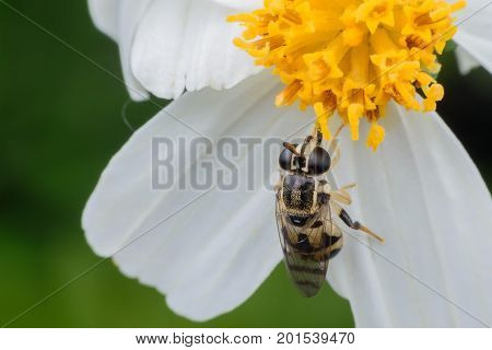 Close up Syrphus ribesii or Hoverfly sometimes called flower fly nectaring at flower